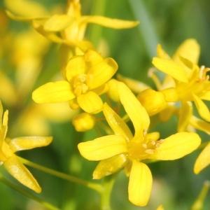 Rorippa pyrenaica (All.) Rchb. (Roripe des Pyrénées)