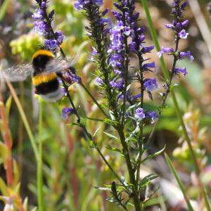 Photographie n°156779 du taxon Anarrhinum bellidifolium (L.) Willd.
