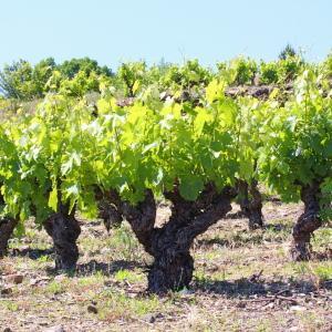 Photographie n°156780 du taxon Vitis vinifera subsp. vinifera