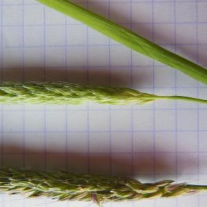- Alopecurus pratensis L.