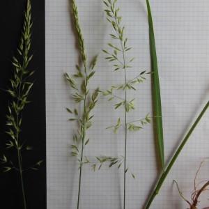 Photographie n°156841 du taxon Arrhenatherum elatius (L.) P.Beauv. ex J.Presl & C.Presl [1819]