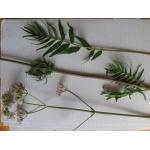 Valeriana officinalis subsp. tenuifolia (Vahl) Schübler & G.Martens f. tenuifolia