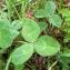 Mathieu Sinet - Trifolium repens subsp. repens