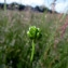 Emmanuel Stratmains - Ranunculus sardous Crantz