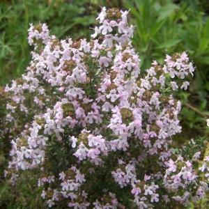Thymus vulgaris L. subsp. vulgaris (Farigoule)
