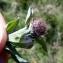 Emmanuel Stratmains - Centaurea jacea var. nemoralis (Jord.) Briq. & Cavill.
