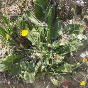 Photographie n°157090 du taxon Seriola aethnensis L.