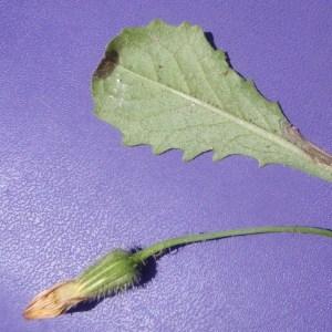 Photographie n°157092 du taxon Seriola aethnensis L.