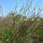 Guy LIBANTE - Ranunculus flammula L. [1753]