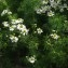 Jean-Luc Gorremans - Matricaria chamomilla L.