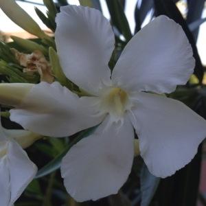 Photographie n°157157 du taxon Nerium oleander L. [1753]