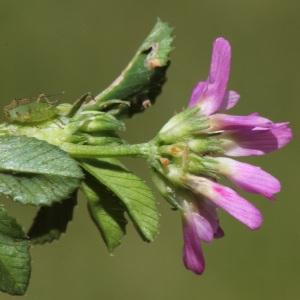Trifolium resupinatum L. (Trèfle de Perse)