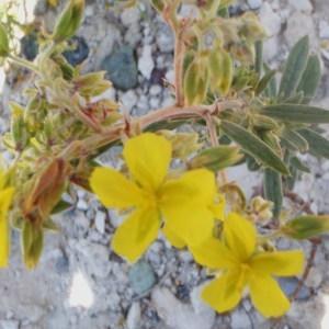 Photographie n°157377 du taxon Helianthemum syriacum (Jacq.) Dum.Cours. [1802]