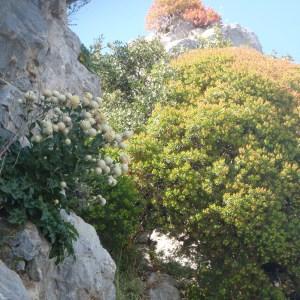 Photographie n°157381 du taxon Centaurea L. [1753]