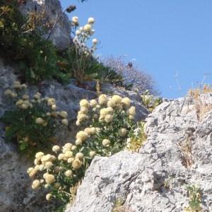 Photographie n°157382 du taxon Centaurea L. [1753]