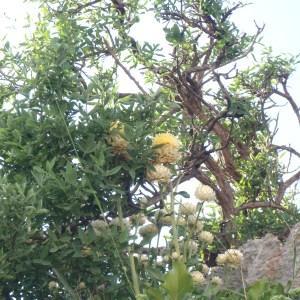 Photographie n°157383 du taxon Centaurea L. [1753]