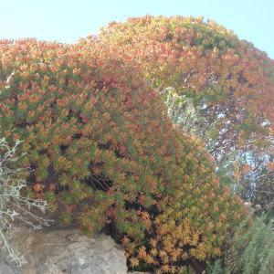 Photographie n°157393 du taxon Euphorbia dendroides L. [1753]