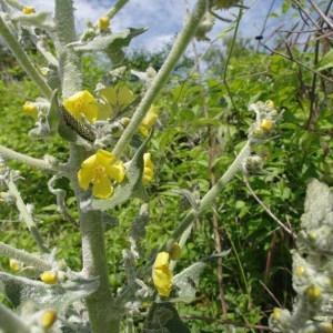 Photographie n°157422 du taxon Verbascum pulverulentum Vill.