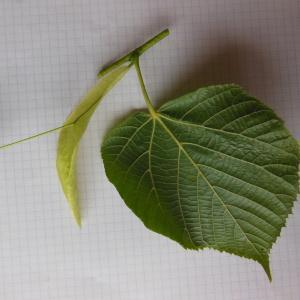 Photographie n°157476 du taxon Tilia platyphyllos Scop. [1771]