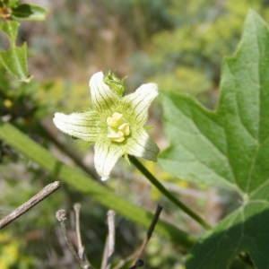 Photographie n°157504 du taxon Bryonia cretica subsp. dioica (Jacq.) Tutin [1968]