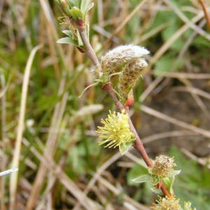 Photographie n°157505 du taxon Salix lapponum L. [1753]