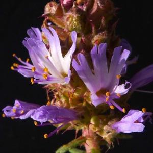 Coris monspeliensis L. (Coris de Montpellier)