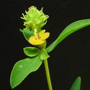 Euphorbia petalioides G.Don ex Loudon [1830] (Euphorbe épineuse)