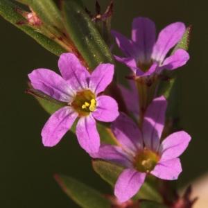 Lythrum hyssopifolia L. (Lythrum à feuilles d'hysope)