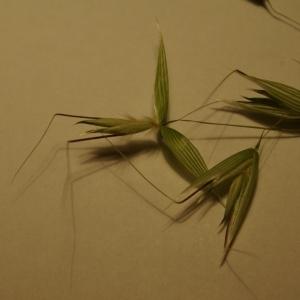 Photographie n°157599 du taxon Avena sativa var. fatua