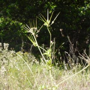 Photographie n°157620 du taxon Erodium moschatum (L.) L'Hér. [1789]