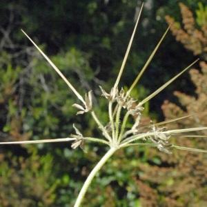 Photographie n°157636 du taxon Erodium moschatum (L.) L'Hér. [1789]