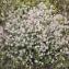 Liliane Roubaudi - Trifolium arvense L.
