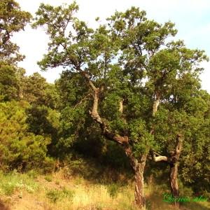 Photographie n°157665 du taxon Quercus suber L. [1753]