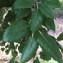 Bernard Andrieu - Quercus suber L.