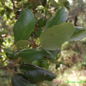 Photographie n°157668 du taxon Quercus suber L. [1753]