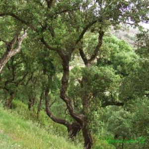 Photographie n°157669 du taxon Quercus suber L. [1753]