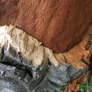 Photographie n°157670 du taxon Quercus suber L. [1753]