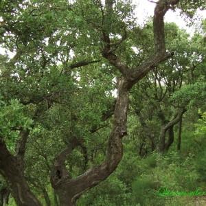 Photographie n°157671 du taxon Quercus suber L. [1753]