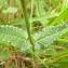 Mathieu Sinet - Stachys officinalis subsp. officinalis