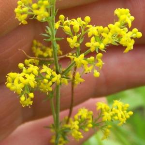 Galium verum L. subsp. verum (Caille-lait jaune)