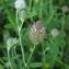 Florent Beck - Trifolium arvense L.