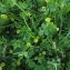 Florent Beck - Trifolium campestre Schreb. [1804]