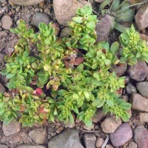 Paronychia echinulata Chater (Paronyque à pointes)