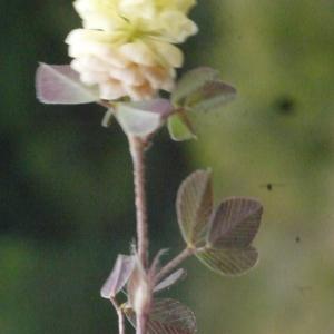 Photographie n°157980 du taxon Trifolium campestre Schreb. [1804]