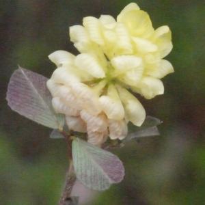 Photographie n°157981 du taxon Trifolium campestre Schreb. [1804]