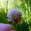 Emmanuel Stratmains - Trifolium hybridum L. [1753]