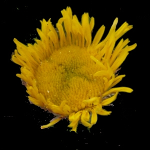 Pulicaria odora (L.) Rchb. (Pulicaire odorante)