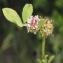 Liliane Roubaudi - Trifolium glomeratum L. [1753]
