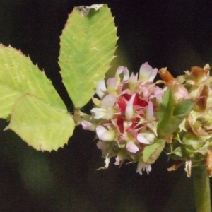 Trifolium glomeratum L. [1753] (Petit Trèfle à boules)