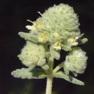 Teucrium polium L. (Germandrée blanc-grisâtre)